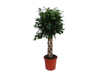 Ficus Benjamine